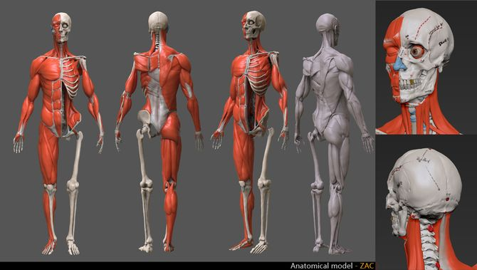 Human anatomy model | Anatomy | Pinterest | Human anatomy model ...