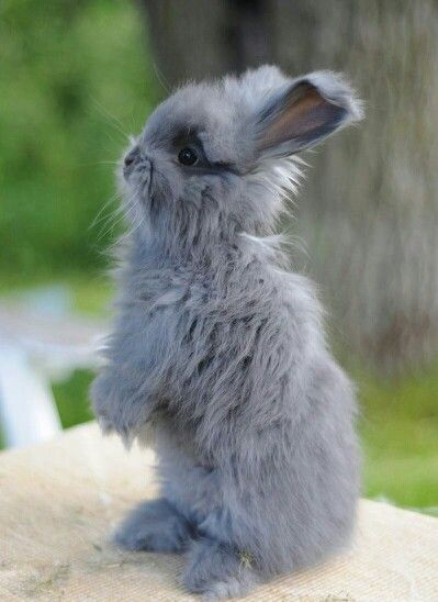 Angora bunny - what a cutie! I want him!!!