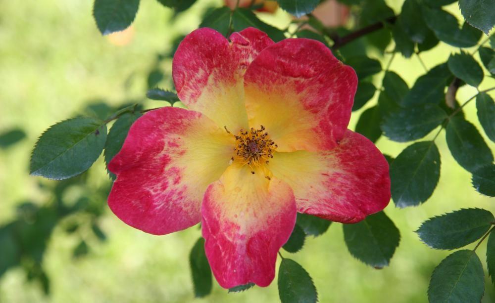 ungef llte rosen nat rlich sch n rosenbl ten rose und paar. Black Bedroom Furniture Sets. Home Design Ideas