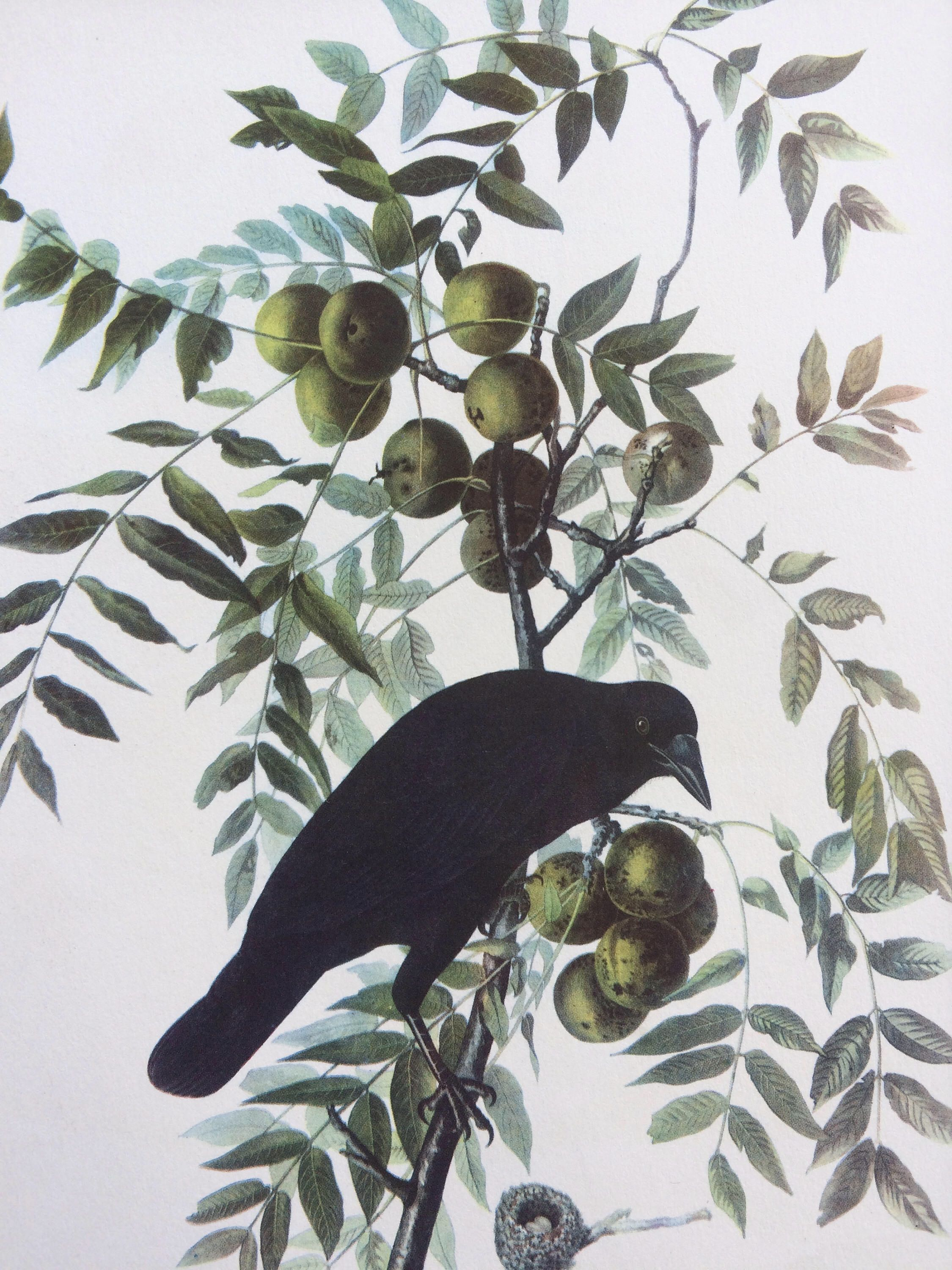 1937 Crow Original Vintage Audubon Print, Matted And Ready To