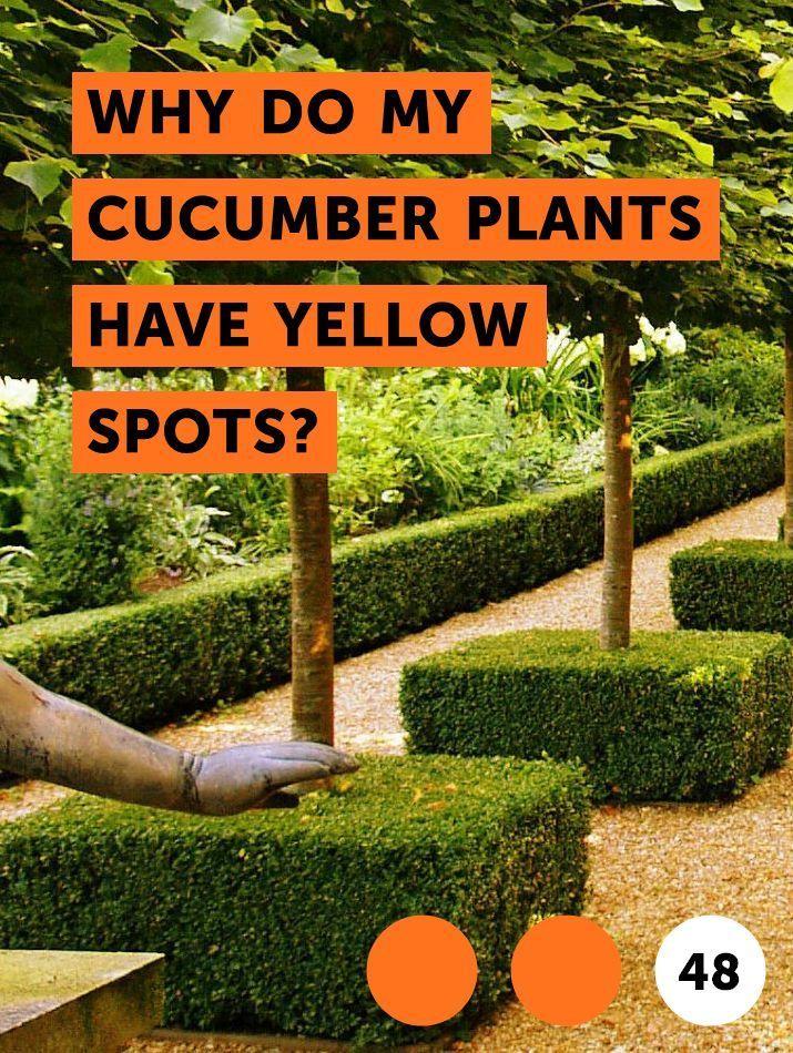 Warum Haben Meine Gurkenpflanzen Gelbe Flecken Gurkenpflanze Pflanzen Gurke