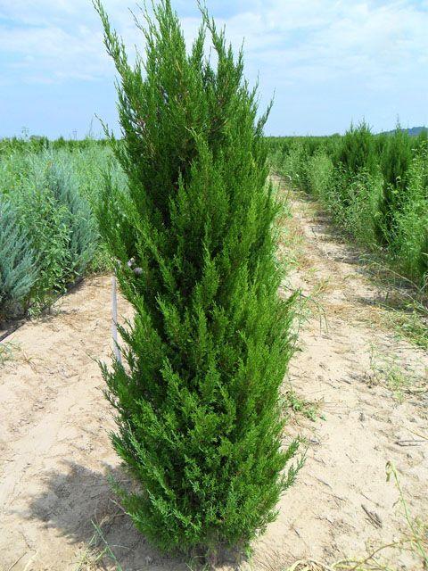 Spartan Juniper Landscaping Pinterest Evergreen