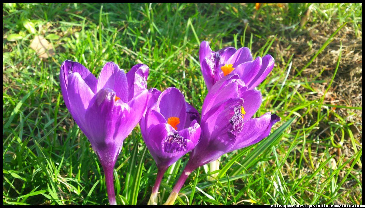 Krokusy Wiosenne Kwiaty Flowers Polish Flowers Polskie Kwiaty Kwiatki Kwiaty Ogrodowe Kwiaty Polne Kwiaty Lesne Przebisniegi Sniezy Plants Rose Image