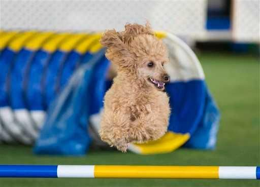 Dashing dogs: Agility races gaining popularity for pets | Lubbock ...