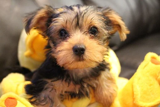 Teacup Yorkie Puppies For Sale In New Jersey Nj Teacup Yorkie In 2020 Yorkie Puppies For Adoption Yorkie Puppy For Sale Yorkie Poodle