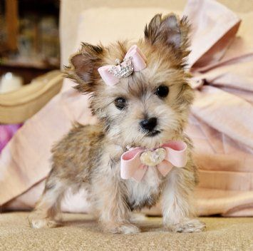 Teacup Golden Morkie Princessshe Is Gorgeous Cute Animals Gorgeous Pets Puppies And Kitties