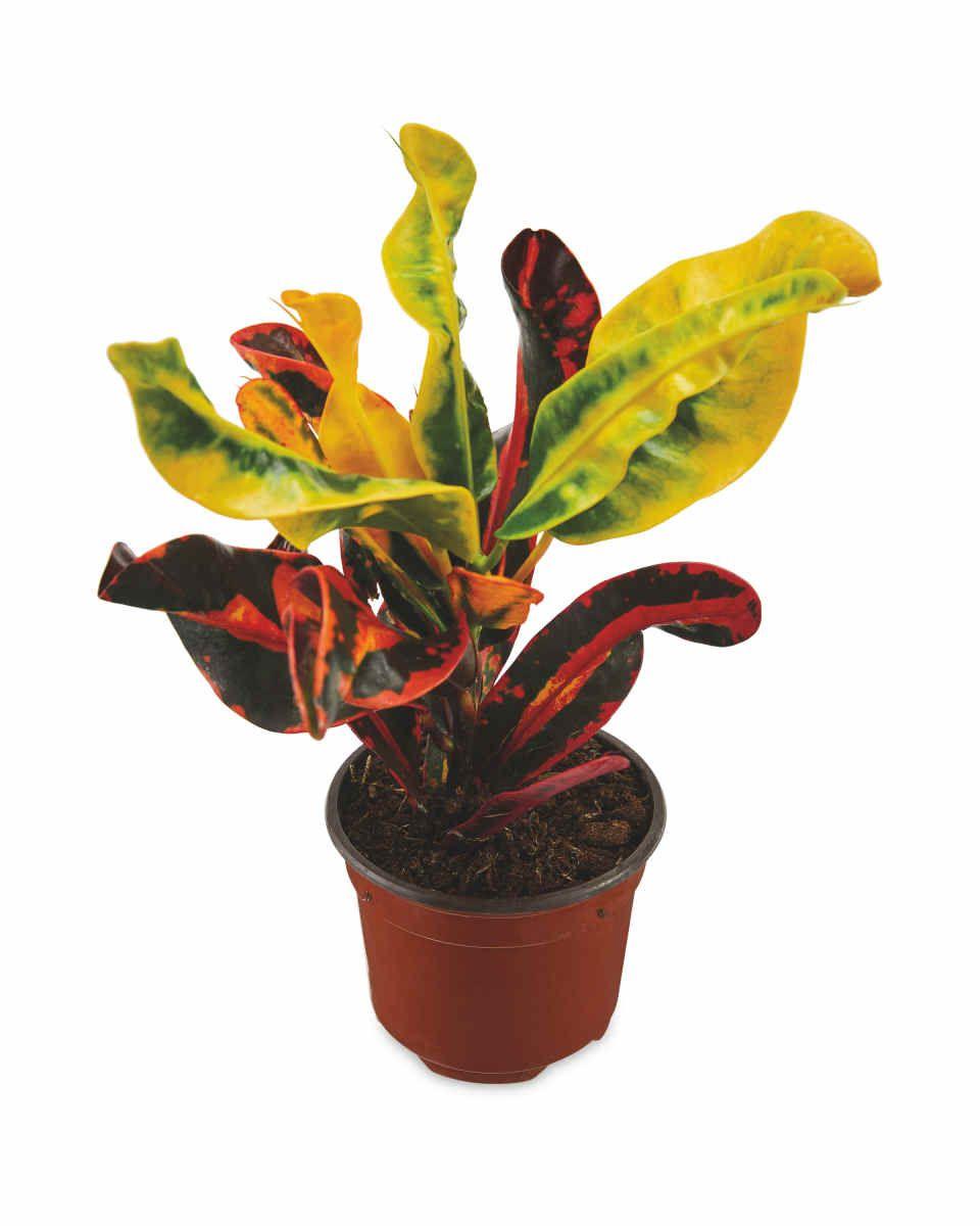 British Grown Indoor Foliage 9Cm Plants Planting 400 x 300