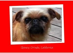QUINCY: A very affectionate, laid back little gilr! is an adoptable Brussels Griffon Dog in Orinda, CA. Quincy is an adorable, very sweet 8 yr. old, approx 10 lb. little girl who is very affectionate,...