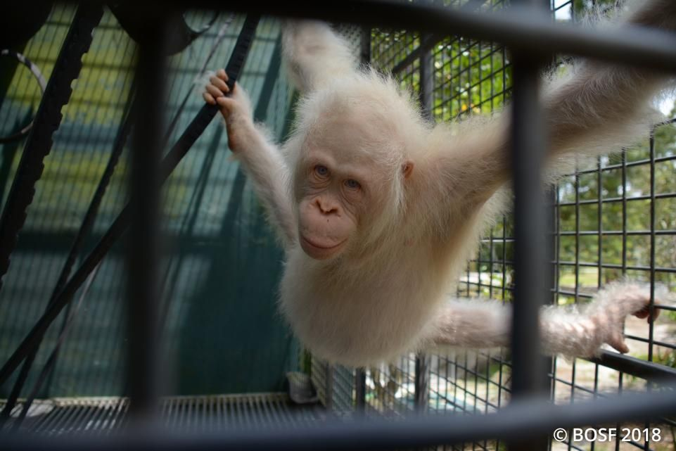 Alba The Only Albino Orangutan In The World Is Getting Her Own Personal Island Orangutan Pets Movie Albino