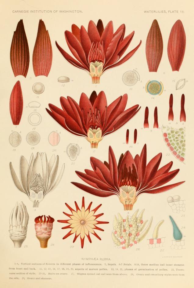 Heaveninawildflower Scientific Illustration Botanical Drawings Botanical Prints