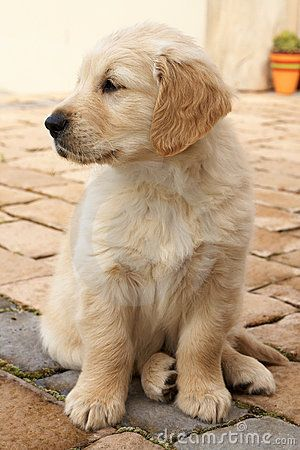 Puppy Golden Retriever This Was My Dog Many Years Ago