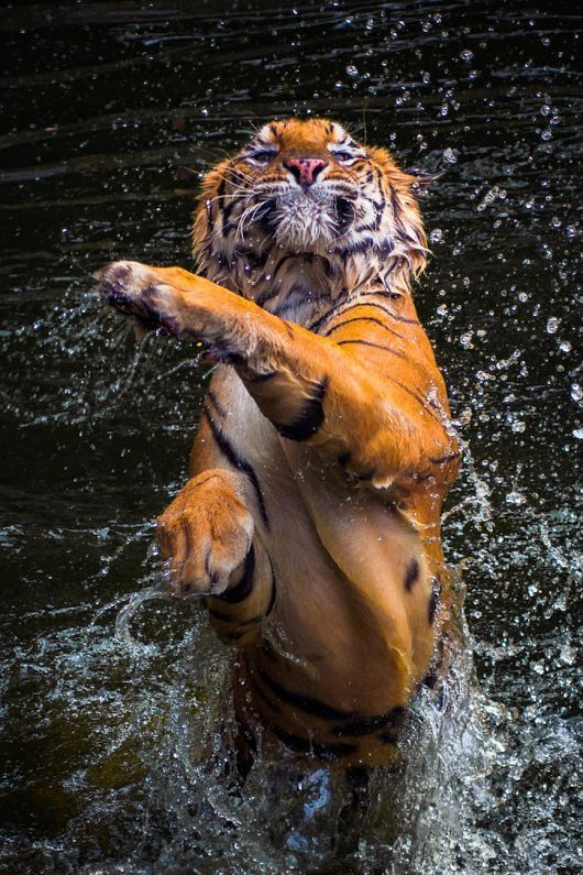 Pin by CynthiaAnna on TigersDangerous Beauty Animals
