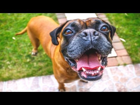 Impossible To Hold Your Laugh Extremely Funny Dog Compilation
