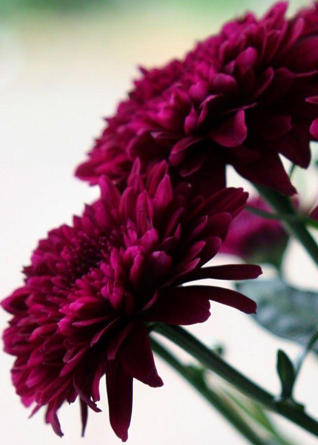 Burgundy Chrysanthemums By Diane Randle Flowers Flower