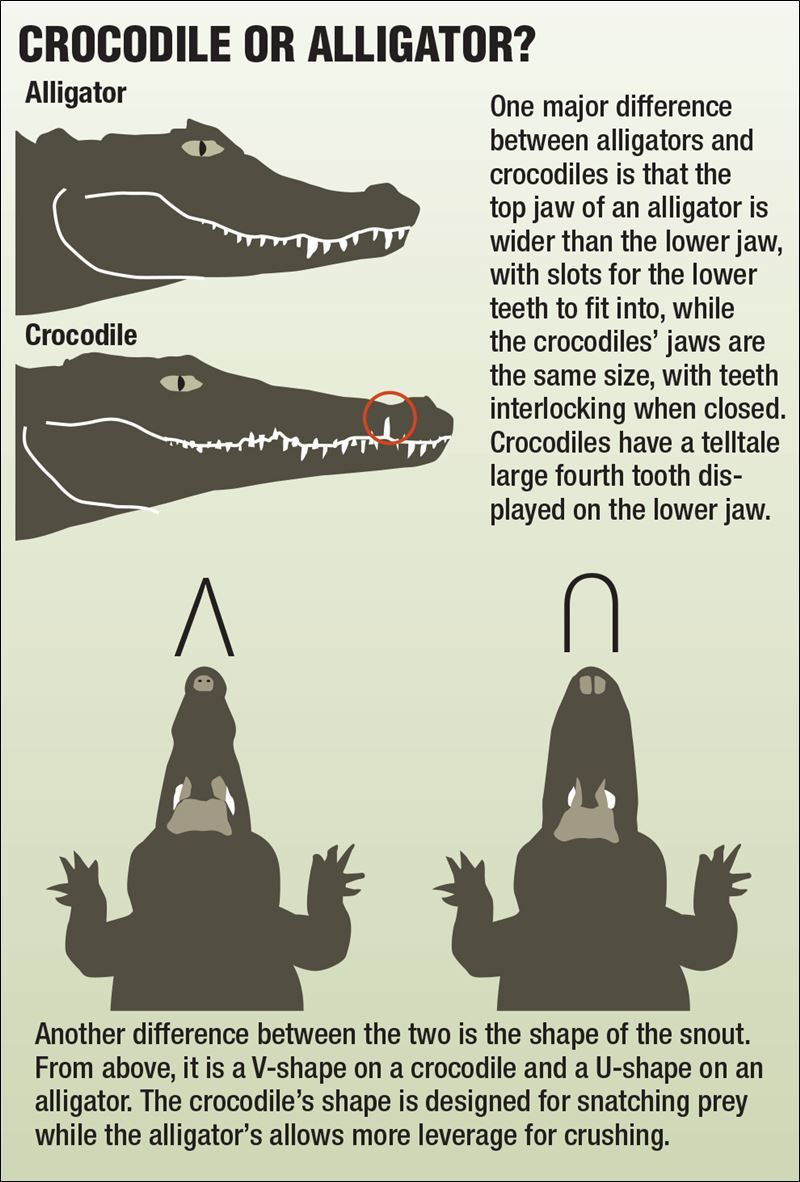 What are the differences between an alligator and a crocodile?