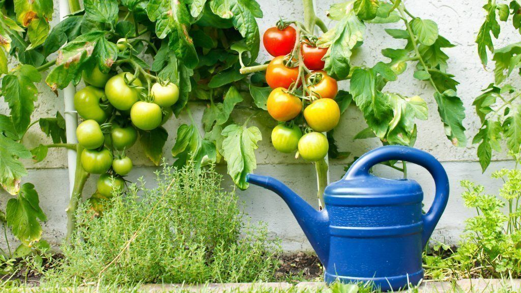 tomaten pflanzen tipps zum anbau und den besten sorten selbst ist der bauer gem se obst. Black Bedroom Furniture Sets. Home Design Ideas