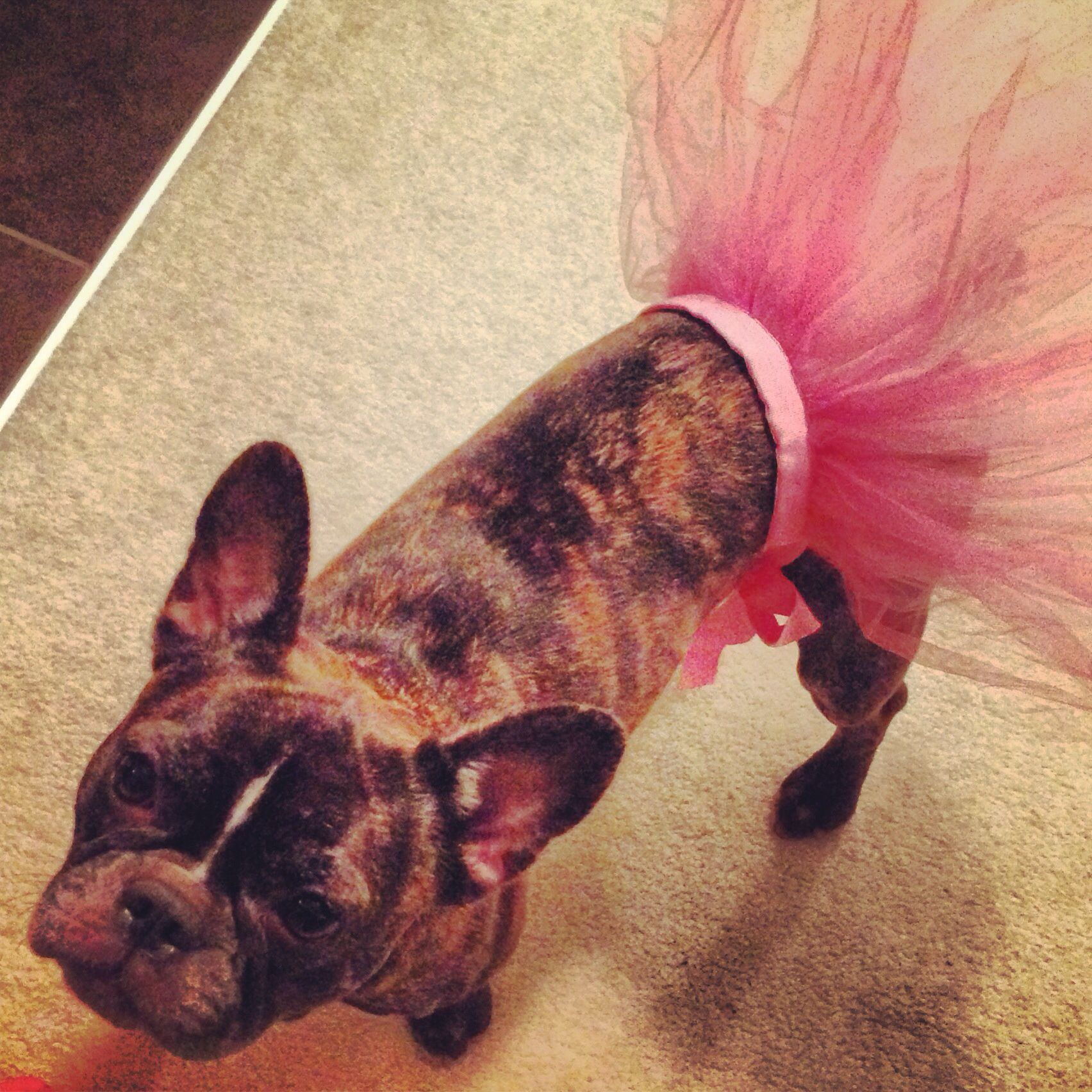 Paisley Is Tutu Cute French Bulldog Boston Terrier Cross In One