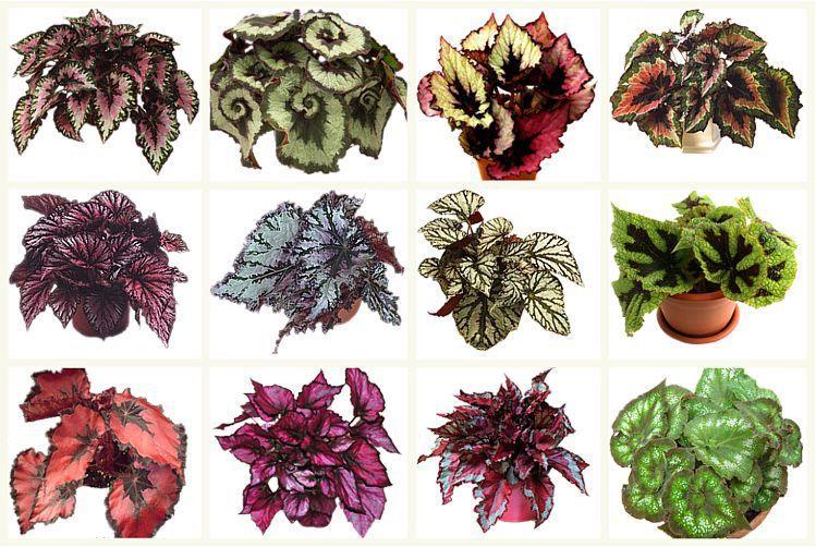 Begonia de varios tipos (variedades) de folhas e flores