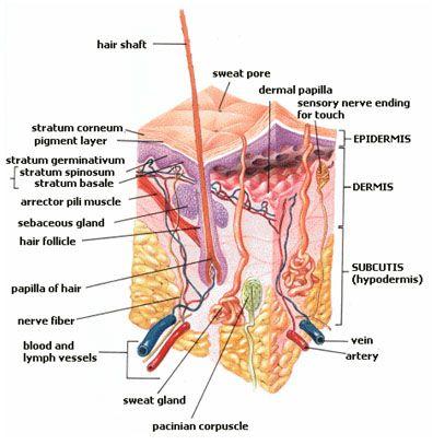 Hair Anatomy Diagram Parts Circuit Connection Diagram