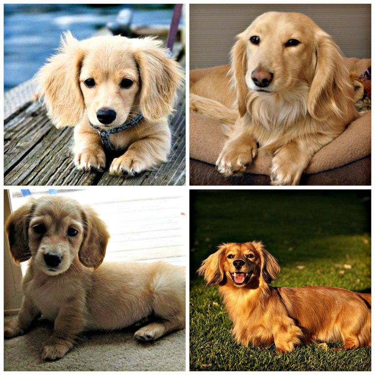 This Is A Goldenshund Golden Retriever Dachshund Dogs