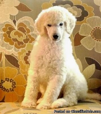 Poodle Puppies Standard Poodle Puppy Poodle Puppy Standard