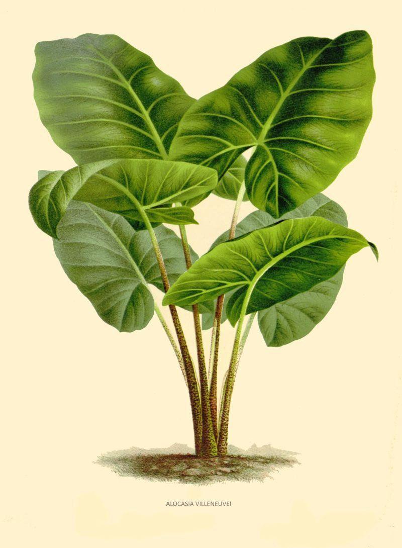 Antique french botanical printalocasia villeneuvi tropical | Etsy