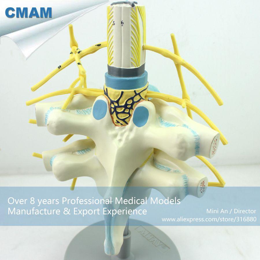 CMAM-VERTEBRA06 Plastic Human Thoracic Spinal Cord Spinal Nerve ...