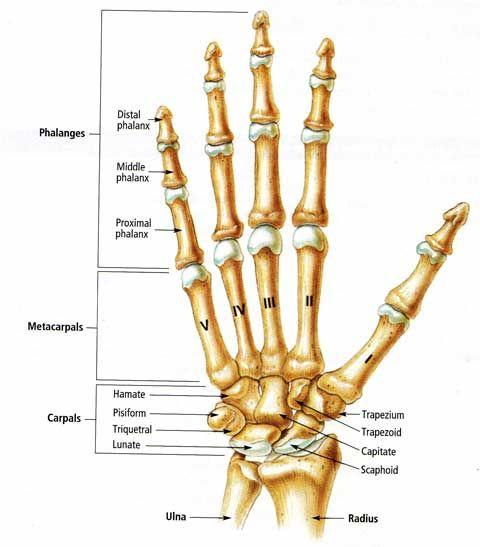 Human Anatomy : Finger Hand Bone Anatomy Picture Hand Anatomy ...
