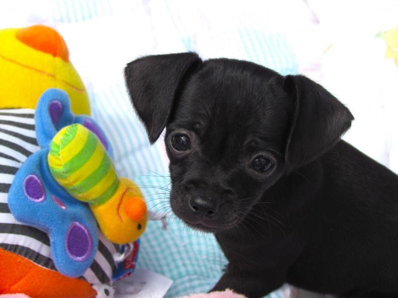 Adopt BABY ELLA on Adoption, Pets, Dachshund mix
