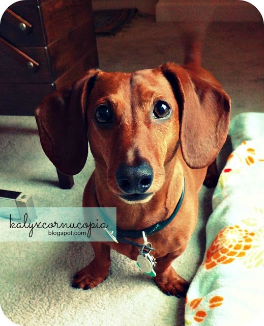 Dachshunds Are the Best! (The Best Dogs Ever)