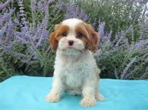 Image Result For Teacup Cavachon Full