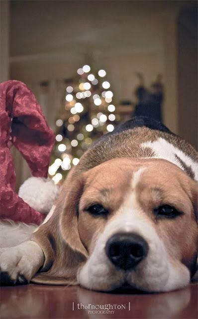 Beagle Christmas Beagle Buddies Cute Dogs And Puppies Holiday