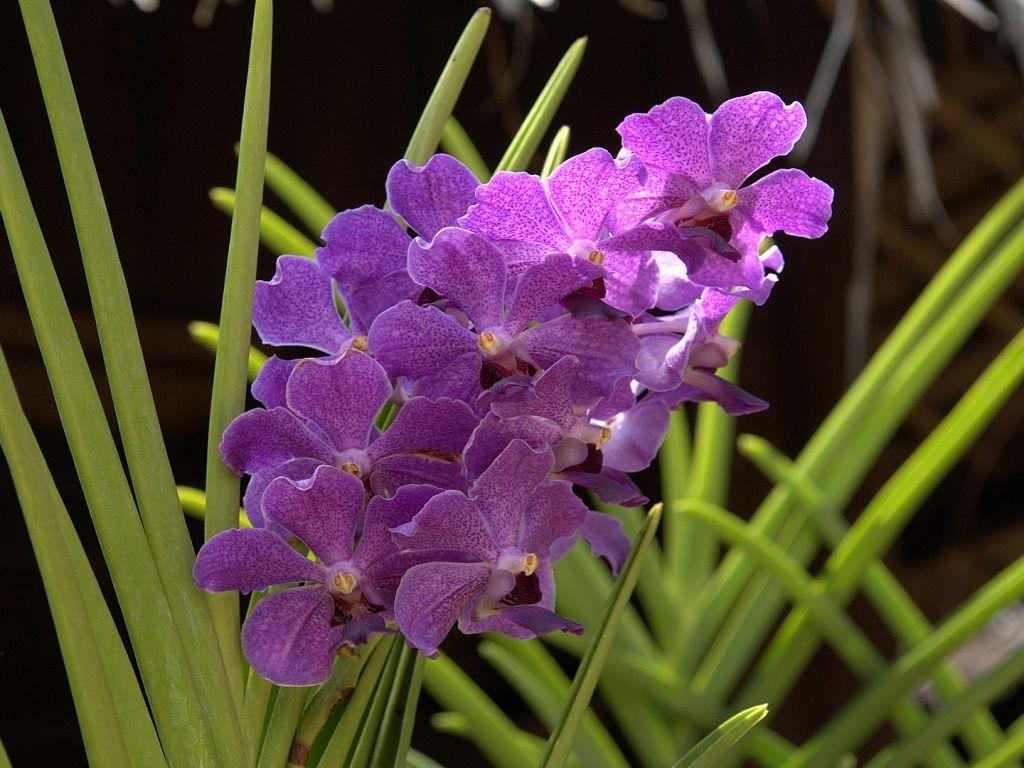 Orkideat - Tyopoydan taustakuvat: http://wallpapic-fi.com/luonto/orkideat/wallpaper-10196