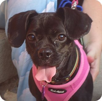Chicago Il Boston Terrier Pug Mix Meet Sophia A Dog For
