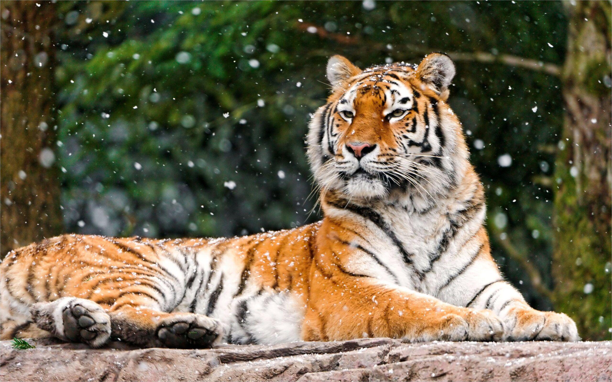 4k Siberian Tiger Wallpaper In 2020 Tiger Wallpaper Siberian