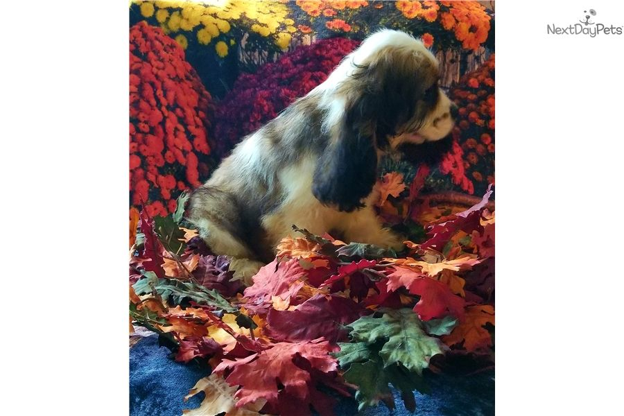 Bernie: Cocker Spaniel puppy for sale near Binghamton, New York