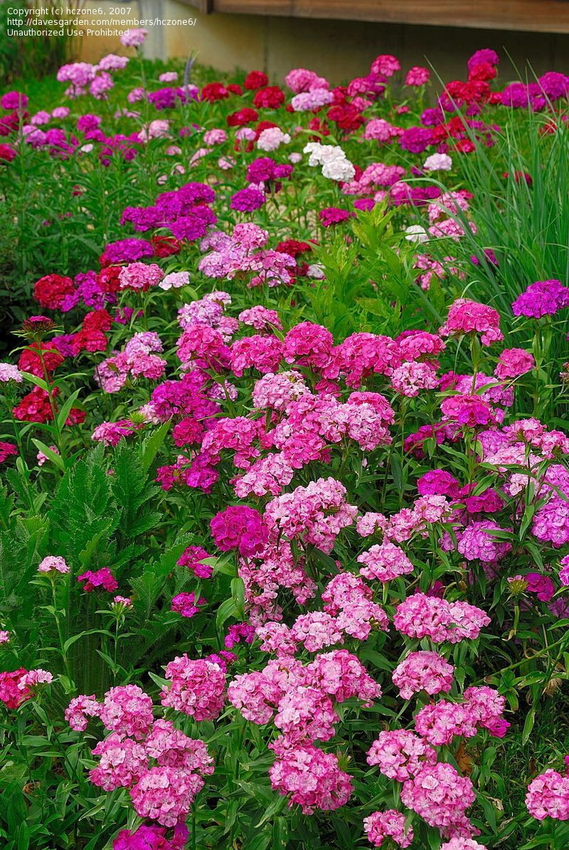 Sweet William Atttempting To Grow In Our Back Yard Aka Our Love Garden Pink Perennials Beautiful Flowers Dianthus Barbatus