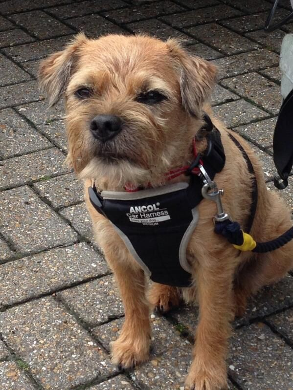 Sir Rohan The Bt On Border Terrier Terrier Brown Dog