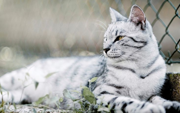 Black-and-white-striped-cat