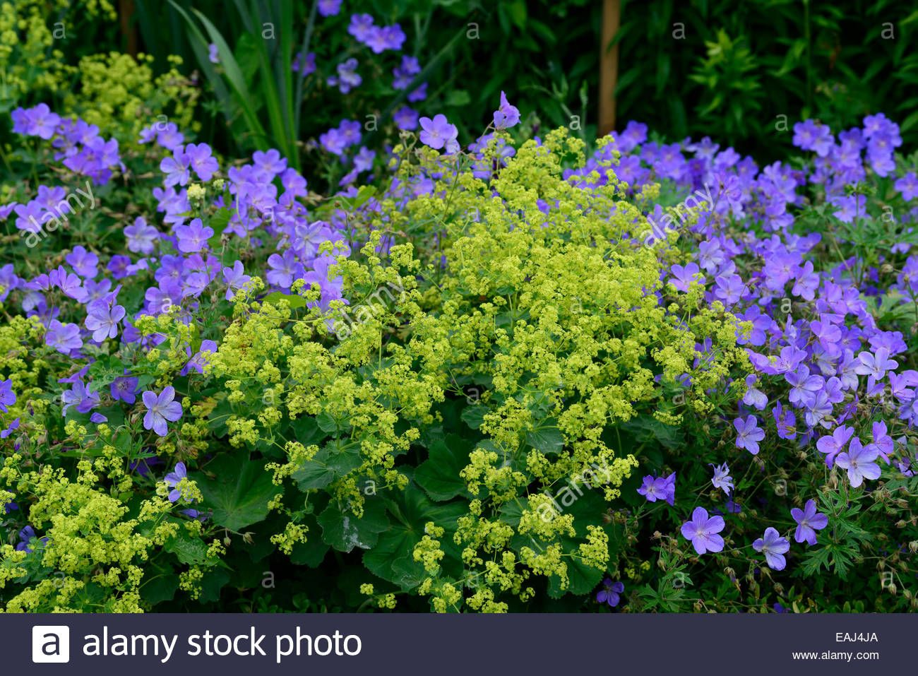 Alchemilla Mollis Geranium Johnsons Blue Yellow Blue Flowers