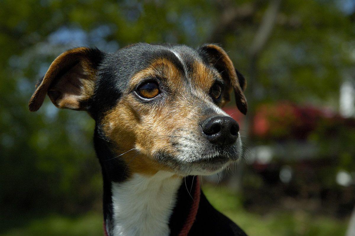 Brazilian Terrier Brazilian Terrier Terrier Puppy Terrier