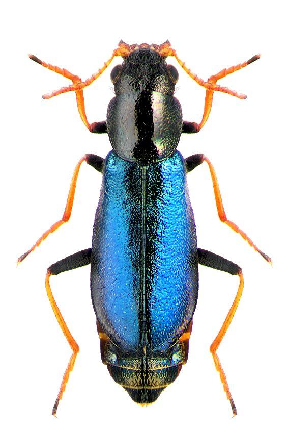 Paratinus femoralis MALACHIIDAE