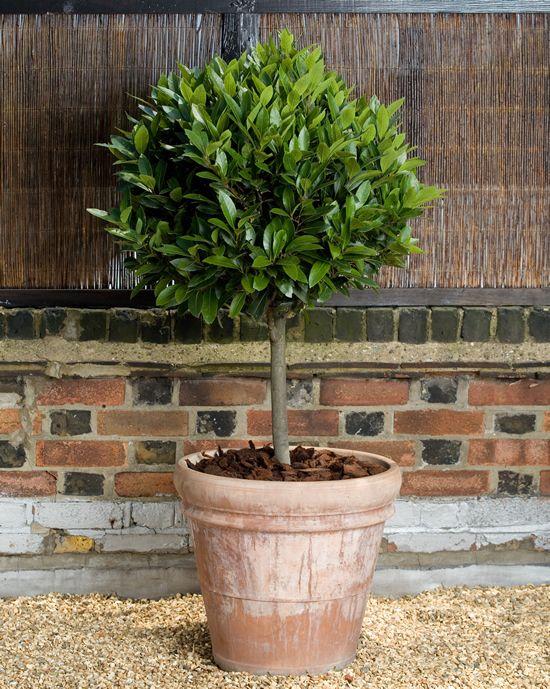 Standard Bay Tree Lollipop Topiary In Terracotta Pot Plants