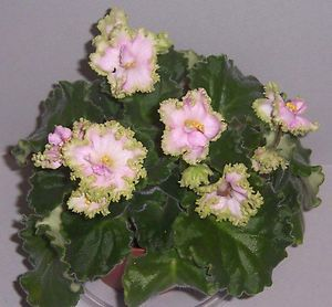 African Violet ~  HARMONY'S FRILLY DEALY (Harmony Greenhouse) White, frilled green edge. Standard