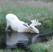 Unusual 22 Albino Animal #albinoanimals Click for Unusual 22 Albino Animal  #Alb... - #albinoanimals