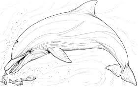 realistic dolphin coloring  google search  dolphin