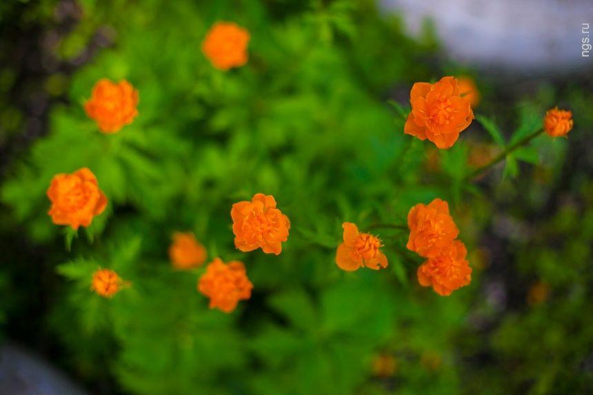 Яркие огоньки (также их называют жарки, купальница и даже сибирская роза) занесены в Красную книгу. Довольно часто весной их можно увидеть в букетах на лотках у бабушек. Если хотите забрать их из леса, то лучше пусть растут перед окнами.