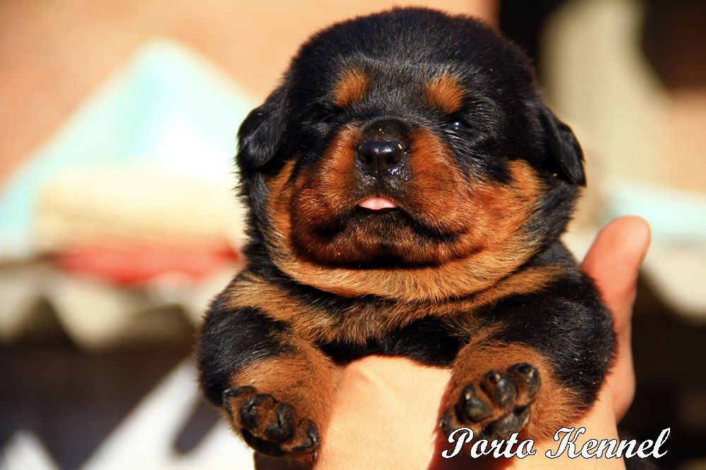 Rottweiler One Day I Will Have One With Images Rottweiler