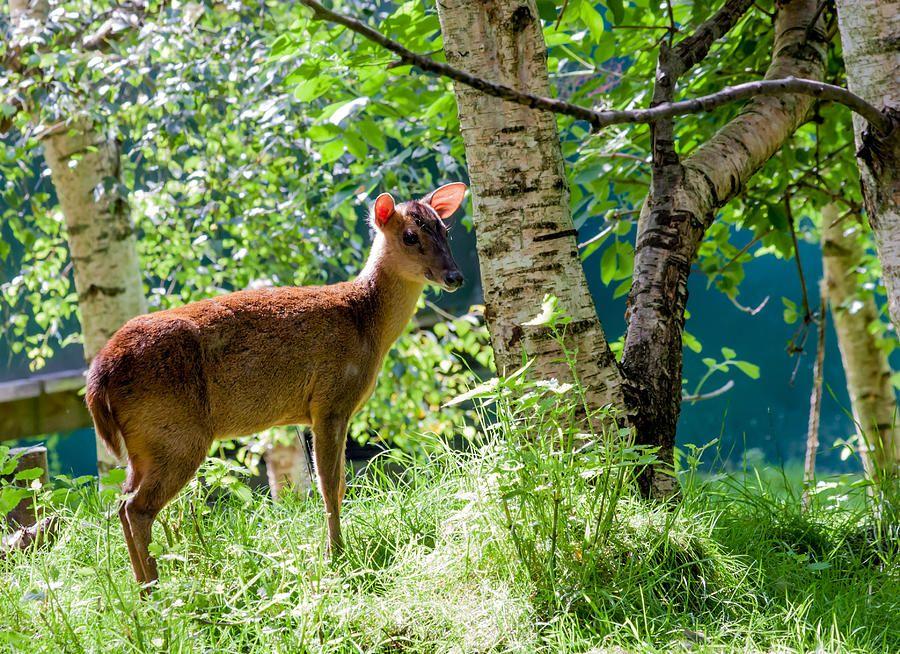 Muntjac Deer Muntiacus Reevesi by Dawn OConnor Fine