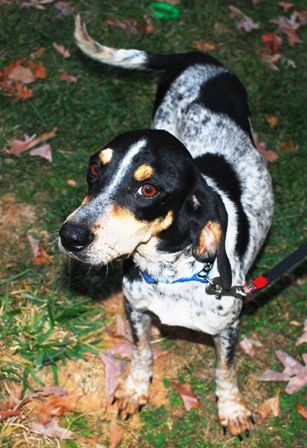 Caswell County Dog Photos Breed Bluetick Coonhound Mix Breed